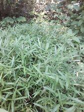 "1 Live ARUNDINARIA TECTA  BAMBOO PLANT RHIZOMES 12"" L"