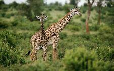 art print wall decals wild animals giraffe photography poster