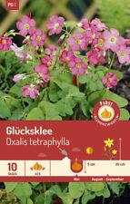 Glücksklee 84027 Oxalis Blumenzwiebeln Klee