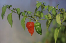 Dorset Naga, one of the hottest chillies in the world: 20 seed