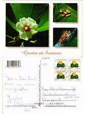 CPM SURINAME-Clusia-Hyla leucofilata-Broomkikker (330118)