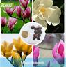 10Pcs Magnolia Flower Seeds Rare 4 Kind Color Perennial Bonsai For Garden