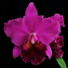 Cattleya Blc Lynn Spooner 'Mendenhall' Orchid Plant