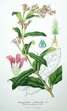 OXYPETALUM OLANOIDES,TWEEDIA PUBESCEN Van Houtte, Antique Botanical Print c1860