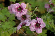 Hardy Geranium Storm Chaser in a 9cm pot