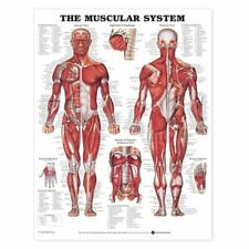 Muscular System Chart - Muscle Charts/Models Anatomical -