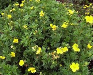 Potentilla Fruticosa 'Goldstar' Cinquefoil 30-40cm Hardy Deciduous Shrub Plant