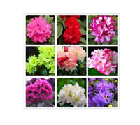 New Arrival! Beautiful 100% True Rhododendron Flower Mix 100  Seeds