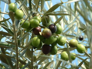 OLIVE TREE - Olea europea  Excellent for Bonsai x20 seeds