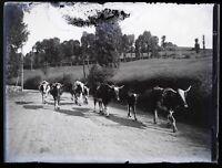 Francia Mucche c1900 Foto Negativo Placca Da Lente Vintage VR18L4n6