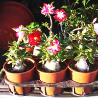 Desert Rose Plant Adenium obesum Mature Bonsai New Hybrids Easy Care