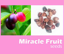 8 Seeds Miracle Fruit (Synsepalum dulcificum) , Organic Grown Plants Free Ship