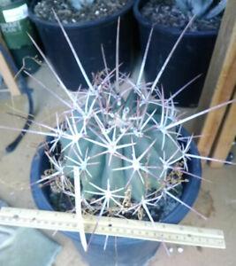 Ferocactus Rectispinus Super Long Central Spines Barrel Cactus