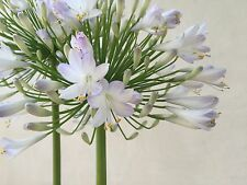 "10 Huge Agapanthus Lily 11"" LRG Snow White Bloom 8Yrs Mature Organic Plants+Gift"