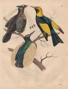 Paradis Oiseau Paradis Strahlenparadiesvogel Lithographie De 1845