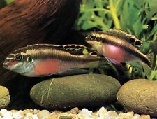 KRIBENSIS ** 2-3CM ** DWARF CICHLID ** EASY TO KEEP