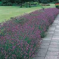 Lavender English Lavander angustifolia    1,000 seeds