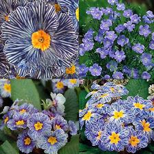 200pcs Seeds Zebra Blue Evening Primrose Easy to Plant Garden Decor Flower