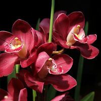 100X Seltene Cymbidium Orchidee Indoor Topf Orchidee Blume Pflanzensamen Garten