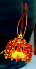 Psychopsis kramerianum Hybride NEW rispige Pflanze Orchidee Orchideen Cattleya