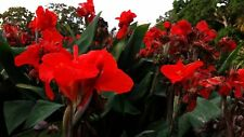 Red CANNA LILY 20 seeds