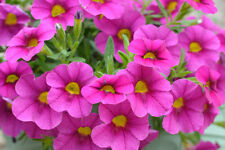 Petunia farben saatgut 800 ca. Petunia multiflora