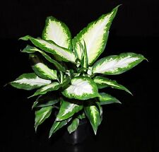 """Dieffenbachia Camille Live Tropical Houseplant Shipped in 4""""Pot~Large & Healthy!"""