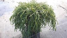 Fadenzypresse Chamaecyparis pisifera /'Filifera Aurea Nana/' 30-40 cm im Co.