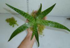 Aloe Vera Plant - Perennial Evergreen Garden Sub Tropical Lawn Garden Succulent