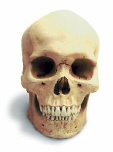 Human Male Skull W/Stand Antique Finish
