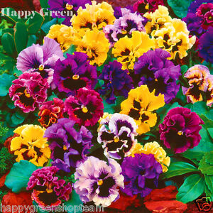 PANSY SWISS CAN CAN MIXED - 300 SEEDS - Viola wittrockiana - BIENNIAL FLOWER