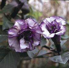 Datura Seeds Black Currant Swirl Double Flower 25 Seeds Angels Trumpet