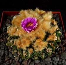 30 Korn ***  GELBE Wolle  Ariocarpus lloydii spec., Kakteen, Kaktus, Astrophytum