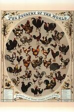 The Poultry of the World, 1868, Breeds of Fowl 52 Chicken Bird - Animal Postcard