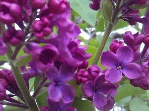 5 Dark Purple Lilac Organic Cuttings Perennial Flowering Shrub Syringa Vulgaris