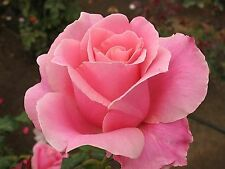 Beautiful Pink Rose Flower Seeds 80 SEEDS --BUY 4 ITEMS FREE SHIPPING