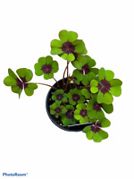 "Oxalis Tetraphylla - 'Iron Cross Plant' - 4"" Pot"