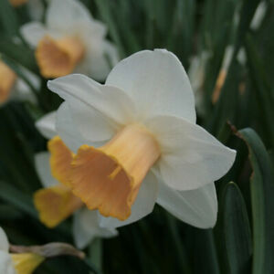 Narcissus 'Salome' 6 Bulbs. Daffodil. Colour changing cup! Flowering Perennial