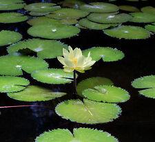 Liveseeds - Mini Trollius Asiatic Bonsai Lotus/ Water Lily Flower /5 Fresh Seeds