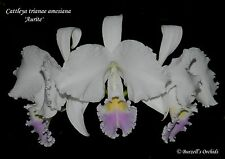 Cattleya trianae amesiana 'Aurite' - Rare Species Cultivar