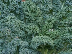 Kale Borecole Winterbor F1 - 50 seeds - Free Delivery - Quality Vegetable Seeds