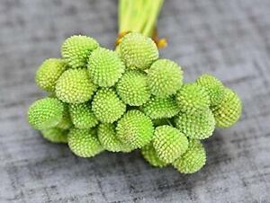 Billy Button or Drumstick - Preserved Live Plants - Green