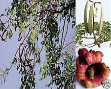 10 FRESH MIDNIGHT HORROR TREE OROXYLUM INDICUM SEEDS