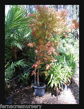 FAON - Coral Bark maple , Acer 'Sango-kaku' in a 40cm pot.