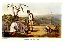 FERRETING RABBITS, RABBIT HUNTING WITH FERRETS, ANTIQUE PRINT