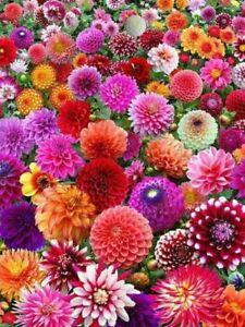 3 Dahlia Surprise Mixed Summer Flowering Perennial Garden Border Bulbs Tubers