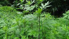 Artemis ( Artemisia vulgaris ) 2000 graines frescas