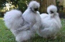 6 + Sq Lavender Chocolate Silkie Chicken Bantam Hatching EggsAssortment