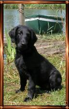 Flatcoated Retriever Notelets/Blank Cards No7 Starprint - Auto combined postage