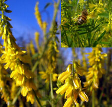 Melilotus officinalis - 500 Seeds (1gram) - Clover, Yellow Sweet